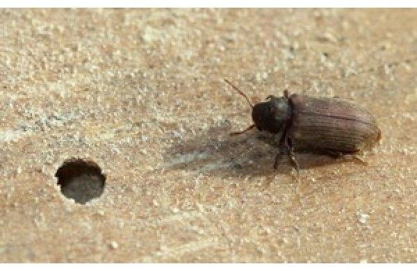 Daunatorii lemnului - insectele xilofage